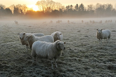 sheep 1 (Pixelkids) Tags: sheep schafe morgenspaziergang morningmist morgennebel winter winterstimmung fog nebel schafherde frost europe germany kälte cool