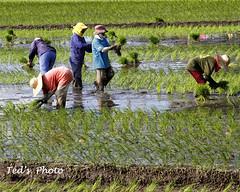 RICE FARMERS PLANTING RICE (canonshooter2005) Tags: ricefarmers 24105mmlis canon7d