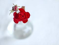 Simplicity. Day 29: December rosebuds.