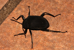 Coleoptera - Darkling Beetle sp. (South Africa) (Nick Dean1) Tags: southafrica beetle krugernationalpark coleoptera darklingbeetle