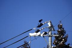 (ddsnet) Tags: sony cybershot rx10     nippon nihon naganoken  japan    birdwatchinginjapan  birds   birdwatching birding