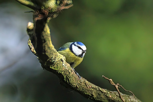 A little bluetit