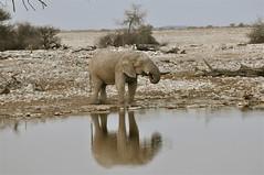 A Great Way to Start the Day (The Spirit of the World) Tags: africa elephant nature wildlife safari waterhole namibia etosha waterreflections southernafrica wildlifereserve africananimal wildlifeportrait elephantatwaterhole nationalparkofnamibia