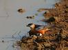 Mosque Swallow (Rainbirder) Tags: kenya maasaimara mosqueswallow hirundosenegalensis rainbirder