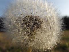 Cúpula (madnesschapel) Tags: sun flower macro nature zoom dandelion makeawish dientedeleon blowhard sopla