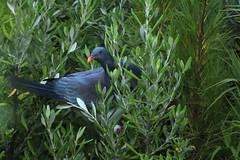 Endangered Chatham Island Pigeon Parea Awatotara Reserve Chatham Island New Zealand
