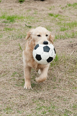 Bear-35 (dai-chan) Tags: bear dog goldenretriever ball golden nikon soccer run retriever nikkor d3 retrieve 50mmf14d
