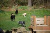 (coopersdogpatch) Tags: dogs run 2009 macey autzen