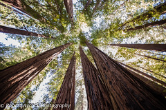 MUIR WOODS LOOKING UP (Robert Aycock) Tags: life sanfrancisco california park county wood old trees sky usa brown sun sunlight tree green monument nature beautiful beauty up leaves rural america forest giant landscape outside outdoors photography coast nationalpark big woods day branch unitedstates natural outdoor sunny nobody growth evergreen muirwoods national vegetation northamerica environment tall redwood endangered lush shrub nationalparks majestic naturalwonder muir sequoia nationalmonument attraction enormous talltrees muirwoodsnationalmonument evergreentrees giantredwoods wildernessarea hugetree coastredwood sequoiasempervirens beautyinnature feelingsmall coastredwoods feelinglittle muirwoodspark redwoodtress goldengateinternationalbiospherereserve