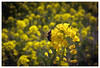 Hard working bee (Duffy'sTavern) Tags: spring bokeh insects beetles southkorea closeups honeybee taean pollination canonmacrolens rapeseedflowers 꿀벌 태안군 taeanflowerfestival 태안백합꽃축제