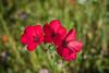 Série Fleur 2015 - 4 (Macsous) Tags: alpes lyon fleur fleurs flower flowers gazon herbe herbes japonais jardin jaune mauvaise rhone solaize tige verdoyant vert