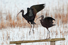 glossy ibis (Explore) (DODO 1959) Tags: wildlife england nature avian birds wader glossyibis flight pair canon 500mmf4isllens 1dmk4 x2 animal outdoor fauna water somerset