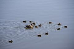 wondering (Mao photo.haikued) Tags: ducks birds waterfowl vformation swim float mother ducklings lake pond water quack helsinki