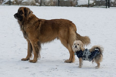 "Tyrion and ""The Mayor"" (RoninOtter) Tags: nashua dog dogpark"