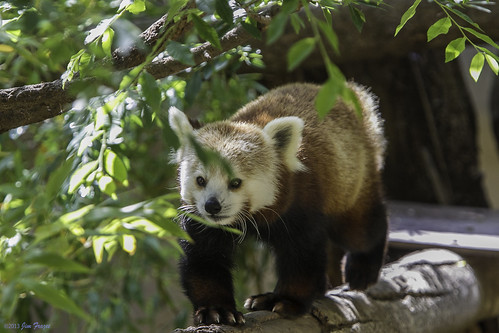 Female Red Panda