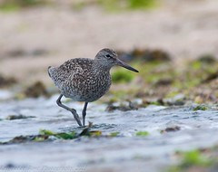 Willet - 4 (krisinct) Tags: bird beach nikon tokina tc 300 tamron f28 willet d300 14x