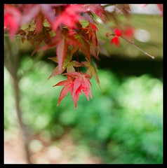 Maple (smadalin2012) Tags: film kodak hasselblad scanned 1002 ektar cooke taylorhobson hasselblad203fe militarylens