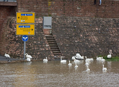 Swans exploring new places (maxunterwegs) Tags: city sign rio river germany bayern deutschland bavaria swan flooding flood main alemania fluss schwan cygne cisne alemanha inondation miltenberg hochwasser baviera inundao enchente cygnus inundacin alemagne bavire