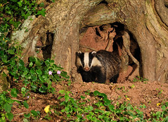 Badger by ancient oak ( Meles meles ) (Kevin Keatley1) Tags: badger britishwildlife naturephotography wildlifephotography melesmeles outdoorphotography naturepictures natureandwildlife middevon wildlifewatchingsupplies kevinkeatley hedgerowbadgers