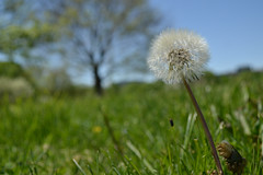 The Loner (.Eromi) Tags: flowers macro nature outdoors washingtondc spring nikon maryland dandelion upclose dcmetro springtime flowerweed