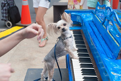 Dog Playing Sing for Hope Piano at Lincoln Center (Shawn Hoke) Tags: plaza nyc center lincoln lincolncenterplaza nikond700 singforhope sfhpianos singforhopepianos