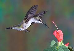 hummigbird (www.nightfocus.info) Tags: action flash flight stop