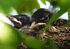 Baby American Robins (PrettyCranium) Tags: baby bird nature robin birds nikon nest zoom wildlife feathers down fluff telephoto tiny newborn downy americanrobin babybirds babyrobin