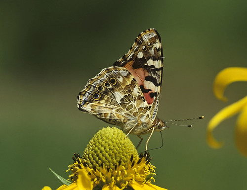 Photo - Painted Lady butterfly.