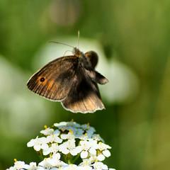 flying away........... (atsjebosma) Tags: macro butterfly flying vlinder 2013 atsjebosma