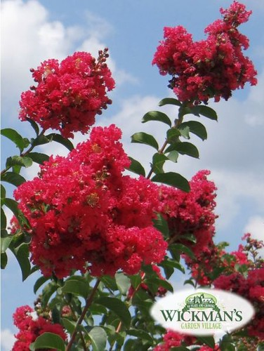 Crape Myrtles for Summer Sizzle