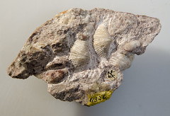 Grand Canyon National Park GRCA 11326: Fossil SPIRIFER SP. (Grand Canyon NPS) Tags: fossil nationalpark grandcanyon f geology cl articulata spirifersp spiriferidae