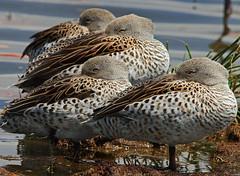 Cape Teal (Rainbirder) Tags: kenya ngc lakenakuru capeteal anascapensis rainbirder