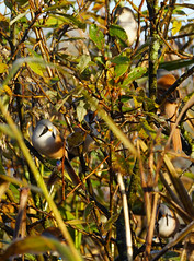 Bearded Tits (Rovers number 9) Tags: uk november autumn england sony lancashire a77 2013 beardedtits rspbleightonmoss sonyaf70300mmf4556gssm sonya77 nov2013