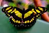 Butter Fly........ (Sunciti _ Sundaram's Images + Messages) Tags: nature butterfly insect natureswonders nikon5000 naturesfinest brillianteyejewel brilliantphotography natureselegantshots