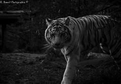 Tigre blanc 3 (H.benoit.photographie) Tags: zoo nikon animaux blanc tigre 70300 d7000