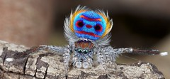 _X8A6276 (1) peacock spider Maratus speciosus (Jurgen Otto) Tags: