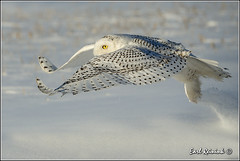 Snowy - first light (Earl Reinink) Tags: winter snow ontario canada bird nature nikon flickr flight owl earl snowyowl naturephotography birdinflight nikond4 snowyowlinflight earlreinink reinink ahdadadorz