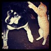 Playtime #dogs #cat #friendship #playtime #puppyplaytime #dogoftheday #dogstagram #catoftheday #catstagram #animal_collection #animalfriendship #pet #petstagram #husky #labrador #huskador #labsky by lieleenchen (www.todleho.com) Tags: pet dogs animal cat husky labrador friendship playtime catoftheday dogoftheday animalfriendship puppyplaytime animalcollection huskador labsky instagram ifttt petstagram catstagram dogstagram