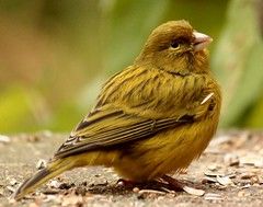 Canary, all alone (Elisabeth, Kelev, Tama, Mazal) Tags: bird nature yellow explore canary vogel canarie