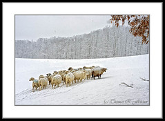 Sheep in Snow (travelphotographer2003) Tags: winter sky usa mountain snow ecology woodland spring sheep snowstorm stormy westvirginia serenity livestock mixedbreed whiteout stormysky huddle katahdin freshness refreshment appalachianmountains purity tranquilscene alleghenymountains familyfarm animalhusbandry beautyinnature webstercounty barbadosblackbelly solitudealleghenymountains vision:text=0776 vision:outdoor=094