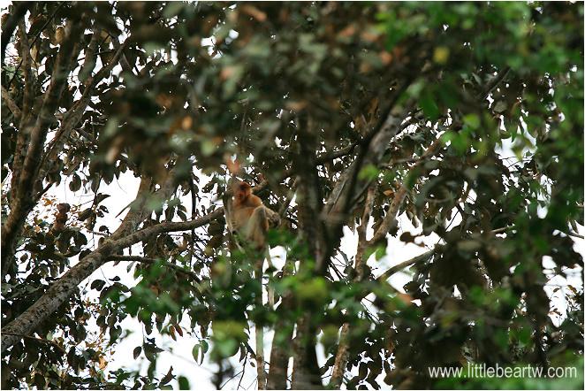 長鼻猴-31