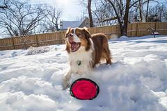 Snow-9565 (sturner404) Tags: winter dog snow play frisbee february aussie australianshepherd