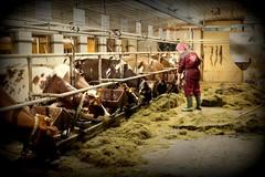 Farmgirl (FarmNor) Tags: barn cow farm rubber apron parlour dairy stable milking coverall kor bonde farmgirl melking ladugrd mjlka bondgrd lantbruk galonbyxor lypsy djursktare galonklder mjlkgrd avbytare mjlkgrop