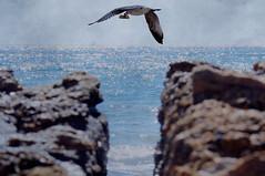 "EVASIN O VICTORIA? (Susana M.L. ""VACACIONES/HOLLIDAYS"") Tags: espaa naturaleza mar andaluca spain europa playa ave cdiz gaviota martimo canoneos550d"