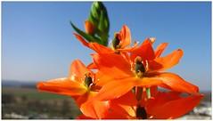 Ornithogalum in the spring sky (eagle1effi) Tags: sky flower macro spring dof sunny foliage handheld sunstar starofbethlehem ornithogalumdubium ornithogalum sonnentag canonmacro milchstern supermacroon2