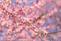 Blossom loveliness *4* (Zo Power) Tags: pink spring soft blossom oxford cherryblossom sakura dreamy springtime universitychurchofstmarys