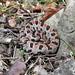 Sistrurus miliarius (Pigmy Rattlesnake)