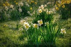Friday Morning.. (Philip R Jones) Tags: morning green grass yellow morninglight spring dew daffodil hdr sidelit subtlehdr