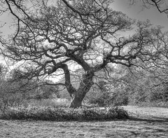 Old Oak (ArtGordon1) Tags: uk england blackandwhite tree london forest woodland eppingforest blackwhite oak oaktree walthamstow walthamforest davegordon davidgordon artgordon1 daveartgordon daveagordon davidagordon oldoaktreet