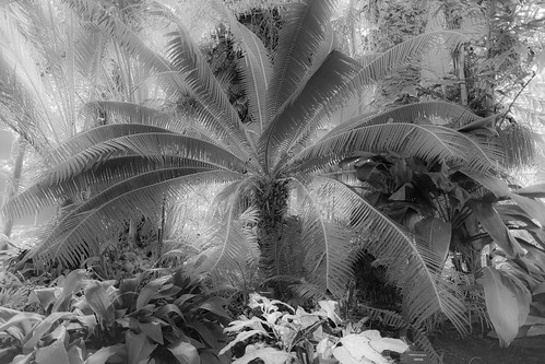 Palm in Main Dome, Anna Scripps Whitcomb Conservatory